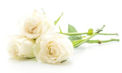 白とベージュの薔薇花画像