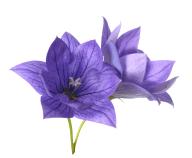 紫花イラスト