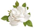 白薔薇イラスト