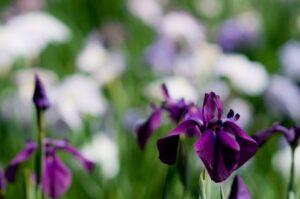 菖蒲花の写真